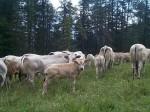 mucche_APA_2014