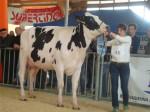 Sanchez-Regia_Muri-Holstein_campionessa-frisona_Saluzzo_2014