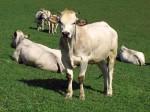 mucca-razza-piemontese