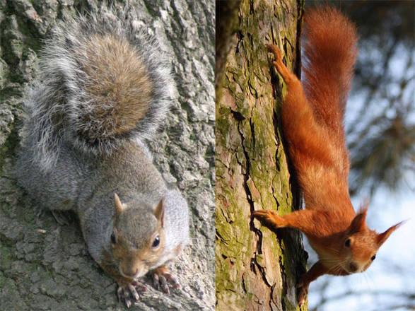 Due scoiattoli a confronto a Cuneo
