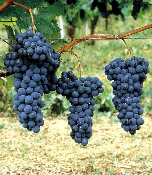 CARRU': Sagra dell'uva 2019