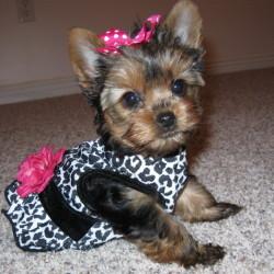 bella-a-teacup-yorkie-terrier-dog_large