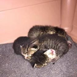 Regalo bellissimi gattini soriani. Per informazioni chiamare al 3387049967 FREE...
