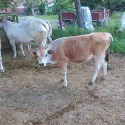 Vitella €800 - Castel Boglione Vendo vitella di 8 mesi...