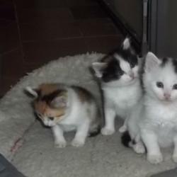gattini 1