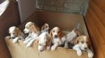 CUCCIOLI RAZZA POINTER INGLESE €800 - Oulx Vendo cuccioli di...