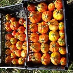 Ortaggi dal contadino €1 - Cuneo Vendo pomodori da passata(0.80/kg)sia...