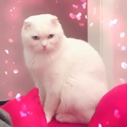 Cerco fidanzatina per mio gatto per prima accopiamento.Gatto Scottish fold...