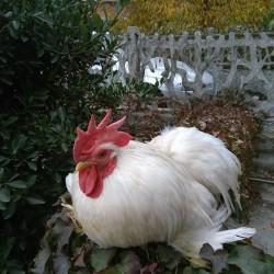 Animale da compagnia €7 - Saluzzo Cedo gallo razza cocincina...