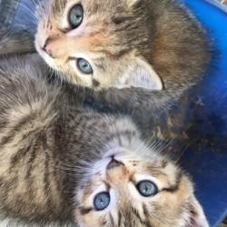 Gattini in regalo FREE - Roccavione, Piemonte Regalo questi due...