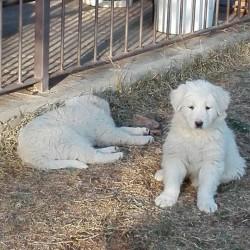 Cuccioli di pastore maremmano €400 - Maddalena Cedo bellissimi cuccioli...