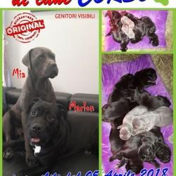 Cucciolata di cane corso €700 - Fossano