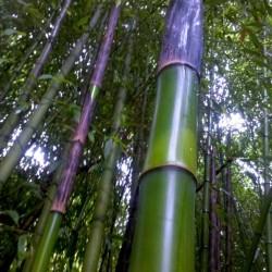 bambu - bambù - bamboo -02