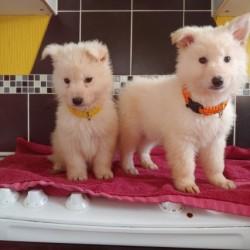 2-white-male-german-shepherd-pups-for-sale-5c55971268f16