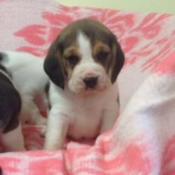kc-registered-beagles-5bd1a1429478f