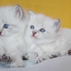 siberian-kittens-5c0657f2049b3 (1)