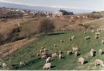Pecore di razza delle Langhe