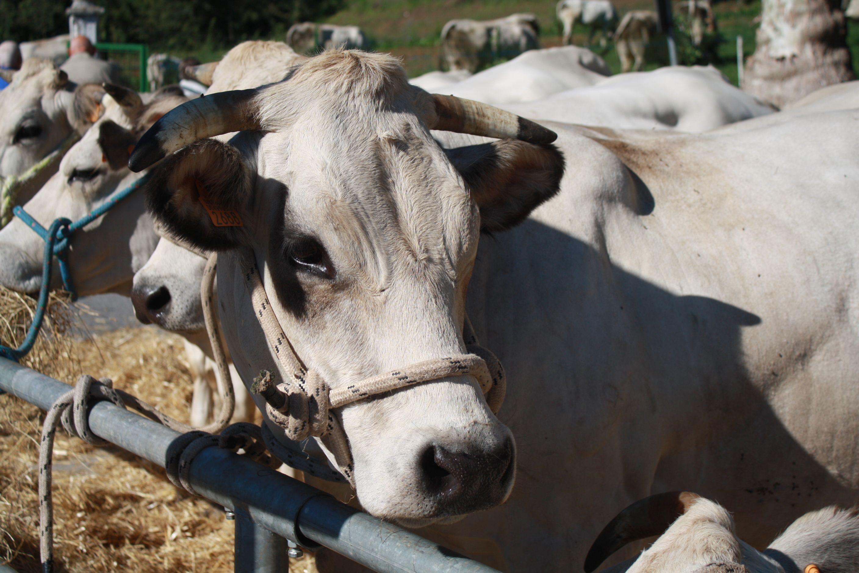 MUU: Cultura da mungere 2019 - 32ª Fiera zootecnica animali da vita razza piemontese