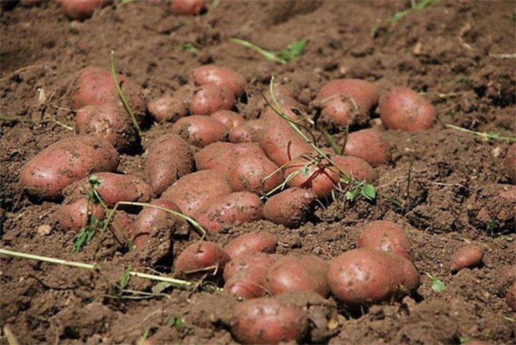 ROSSANA: Sagra della patata rossa di montagna e dei prodotti del sottobosco 2019