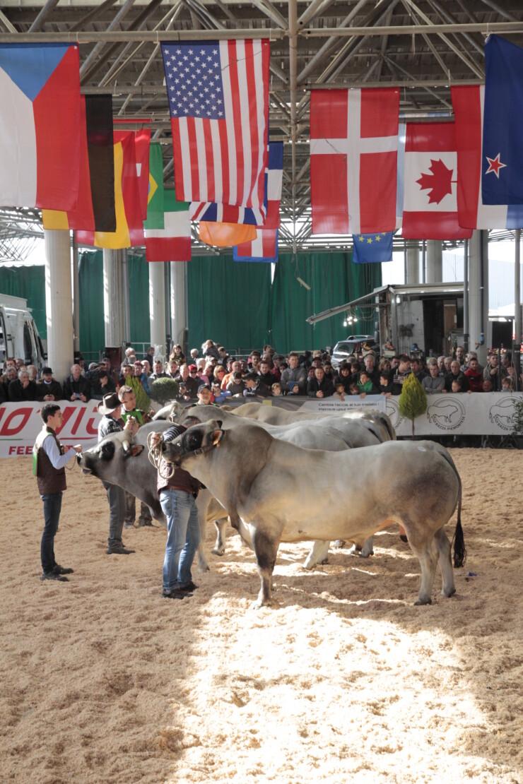 CUNEO: Sapori della Carne 2021 - Mostra nazionale bovini di Razza Piemontese
